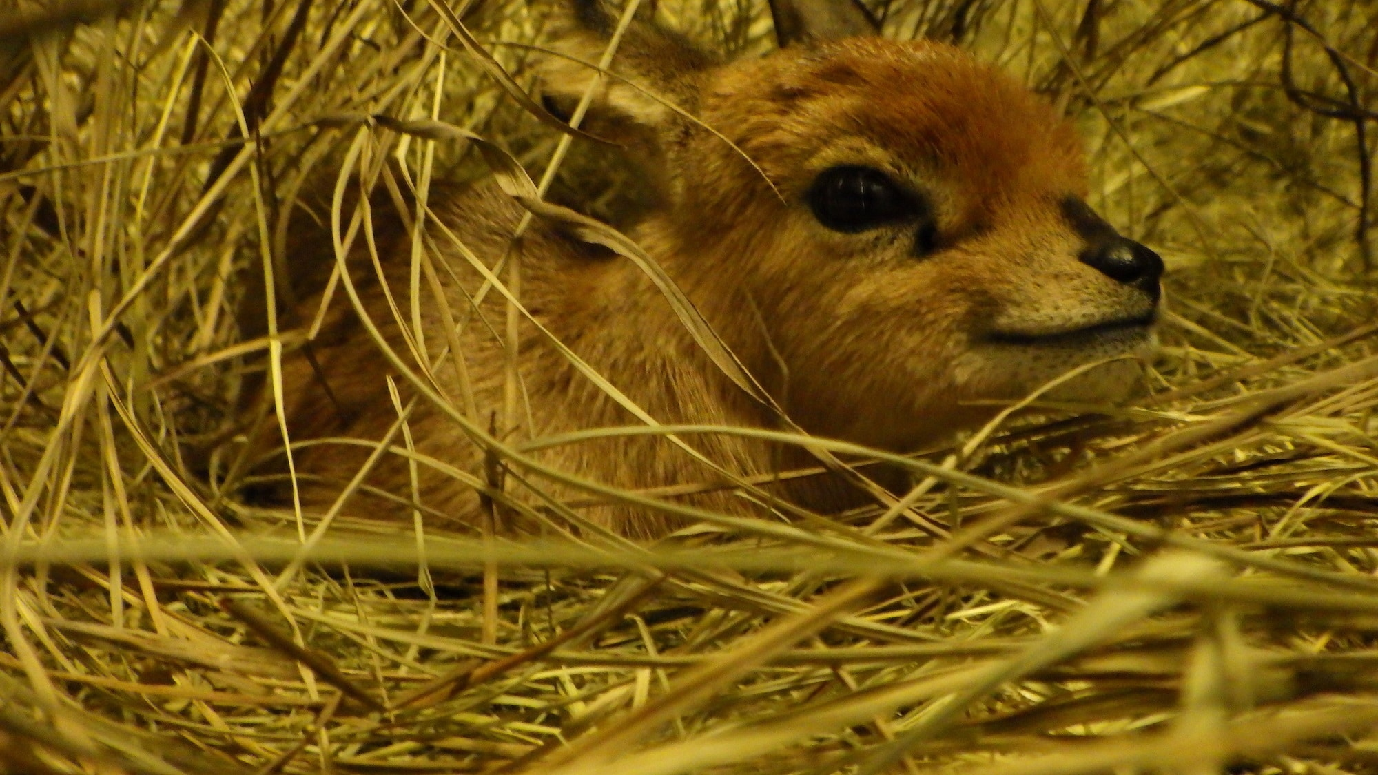 Stark the one day old Steenbok. (Disney)