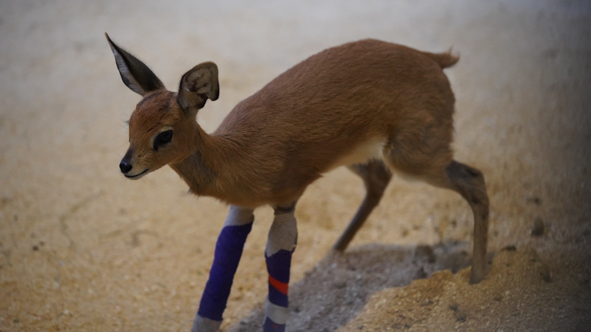 Stark the Steenbok is recovering well after corrective surgery on his legs. (Disney)
