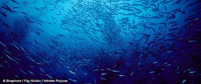 Un banc de millions d'anchois sur la côte Pacifique des Etats-Unis