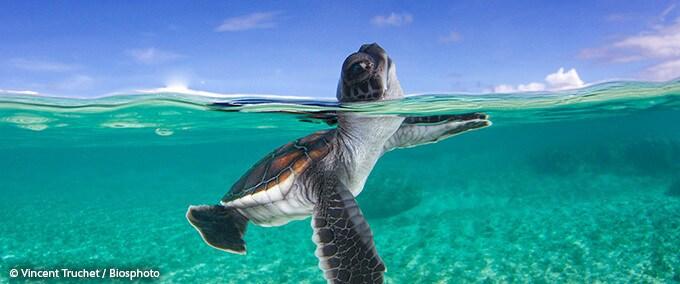 Révélations sur la tortue imbriquée du Pacifique