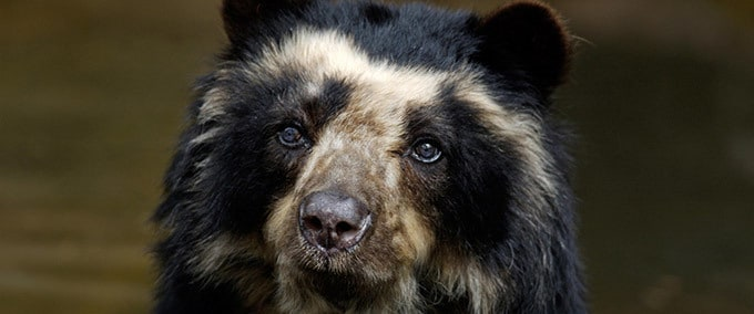Espèces d'Ours : L'ours à lunettes