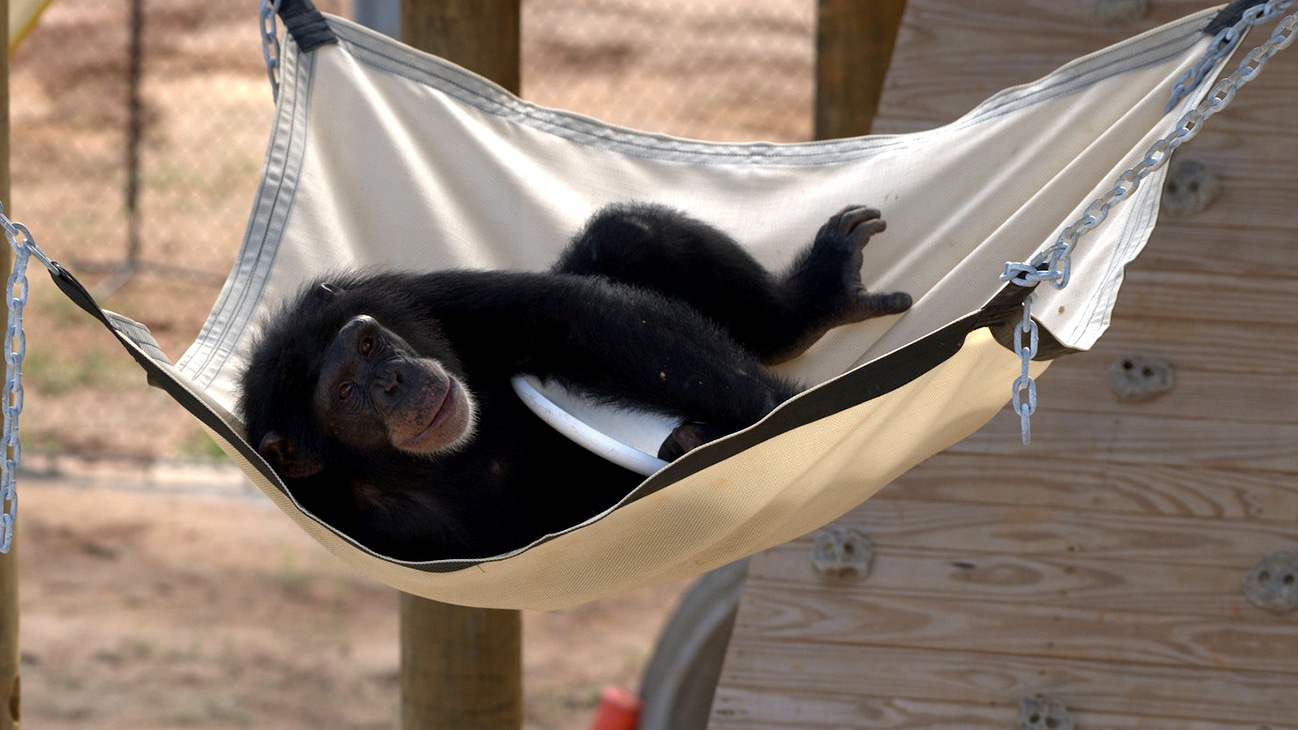 "Keithville, Louisiana - ""Riley resting in a hammock clutching a Frisbee. Riley is in 'Slim's Group'."" (Karalee Scouten/Chimp Haven)"