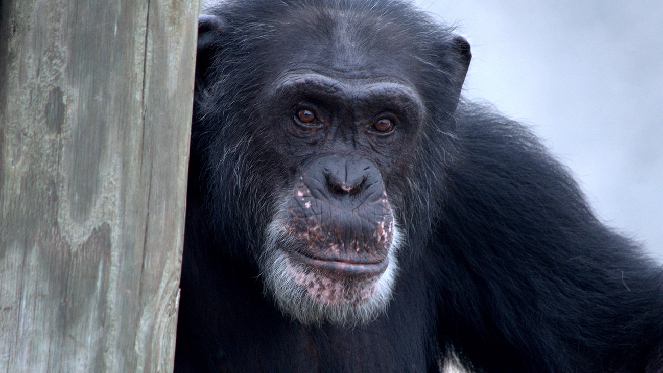 Henry, Donovan's Group. (Chimp Haven/Karalee Scouten)