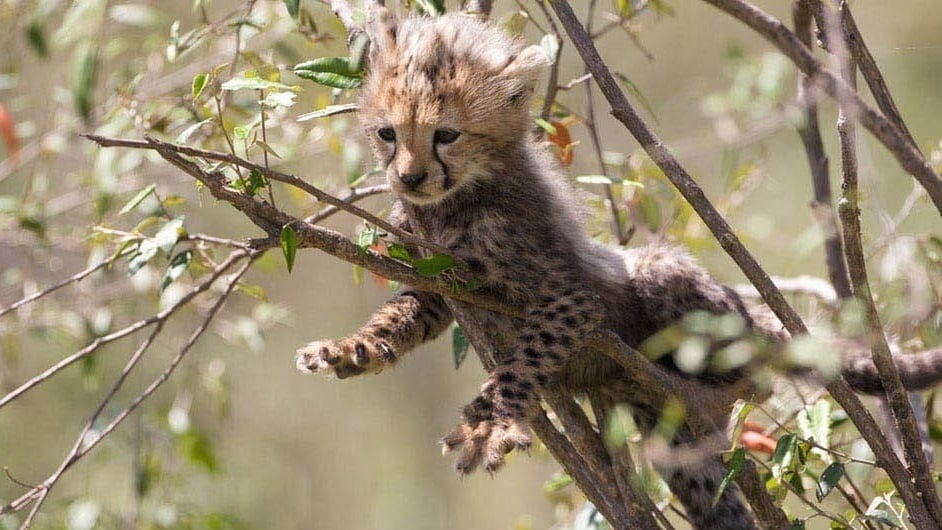 Baby cheetah laying in a tree