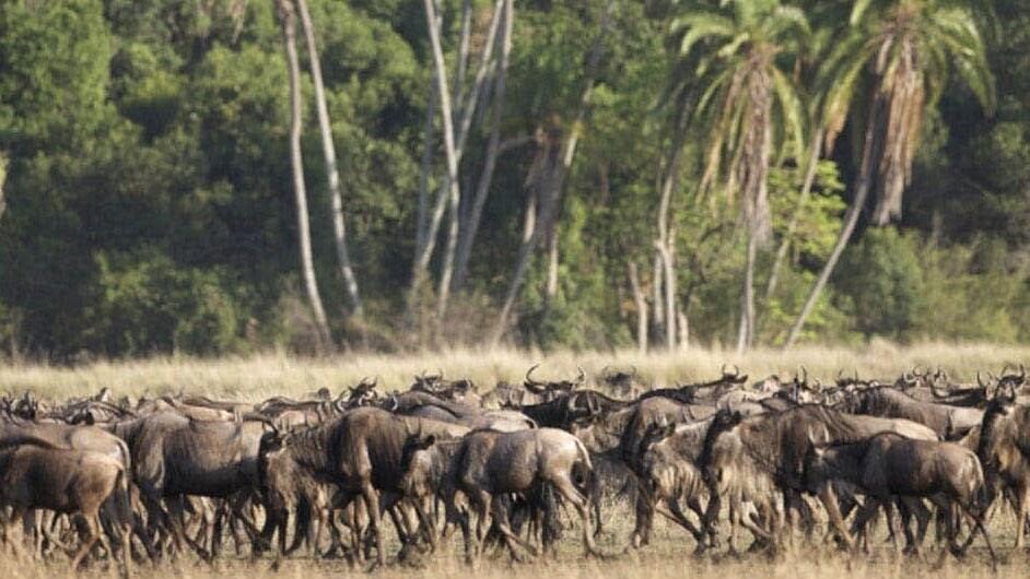 Herd of wildebeests in the movie African Cats