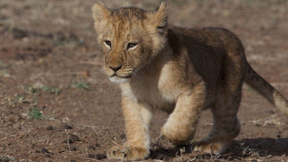 Mara a lion cub in the movie African Cats