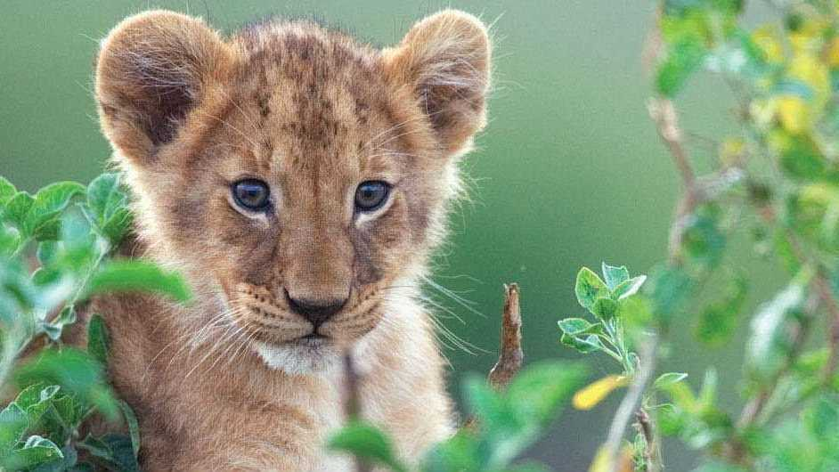 Mara a lion cub posing in African Cats.