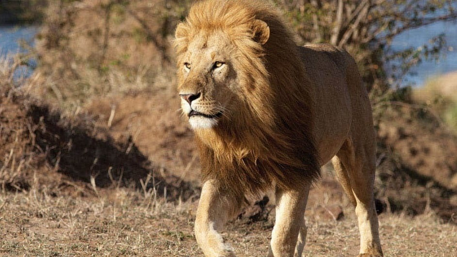 Kali a male lion in the movie African Cats