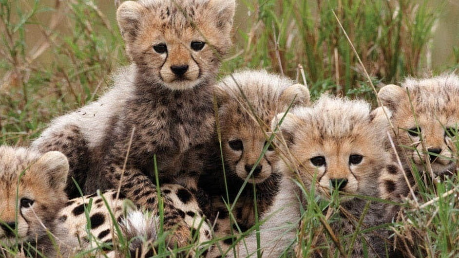photo of Sita's Cheetah Cubs