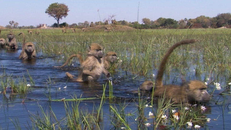 Baboons crossing marshland in the movie Earth
