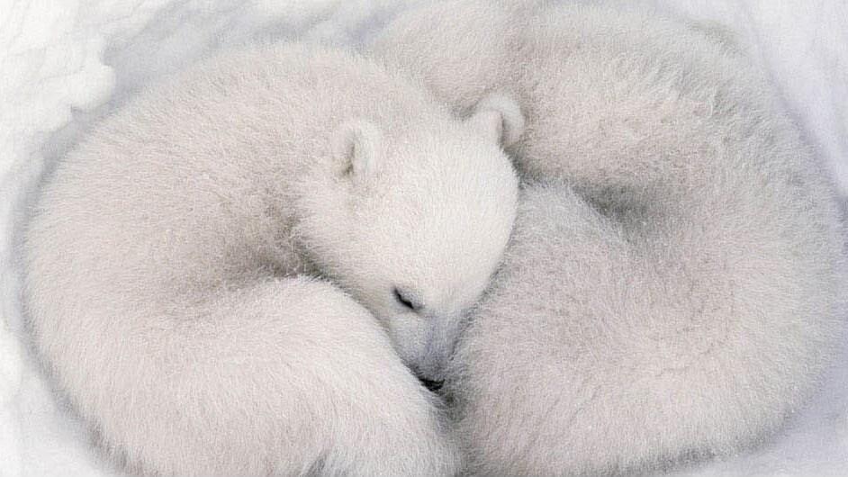 Two polar bear cubs sleeping in the movie Earth