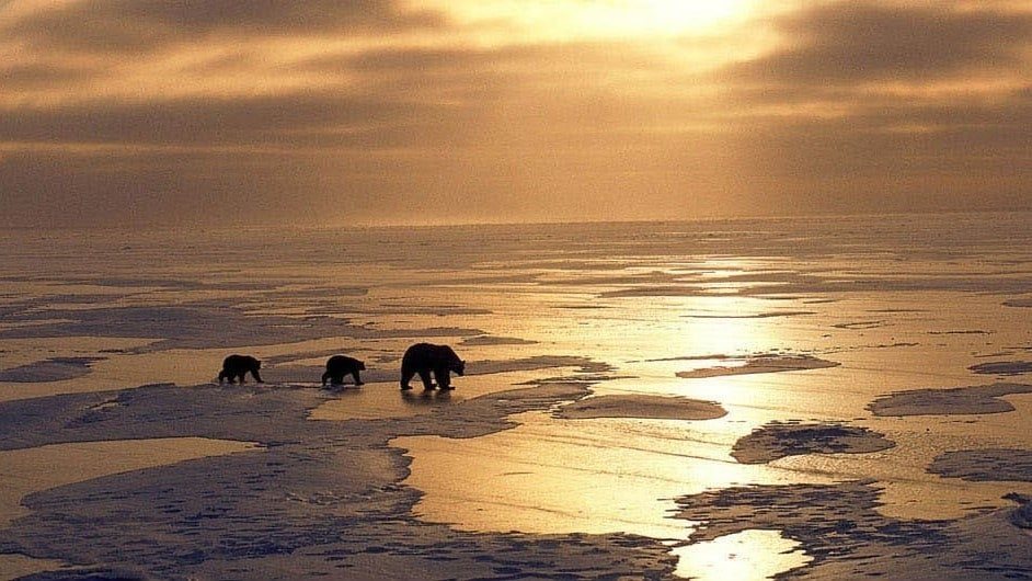 A polar bear mother and two of her cubs walking across the icy sea in the movie Earth.