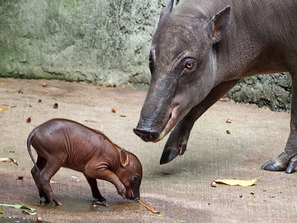 Welcome to the World, Little Piglet! Babirusa Born at Disney's Animal Kingdom