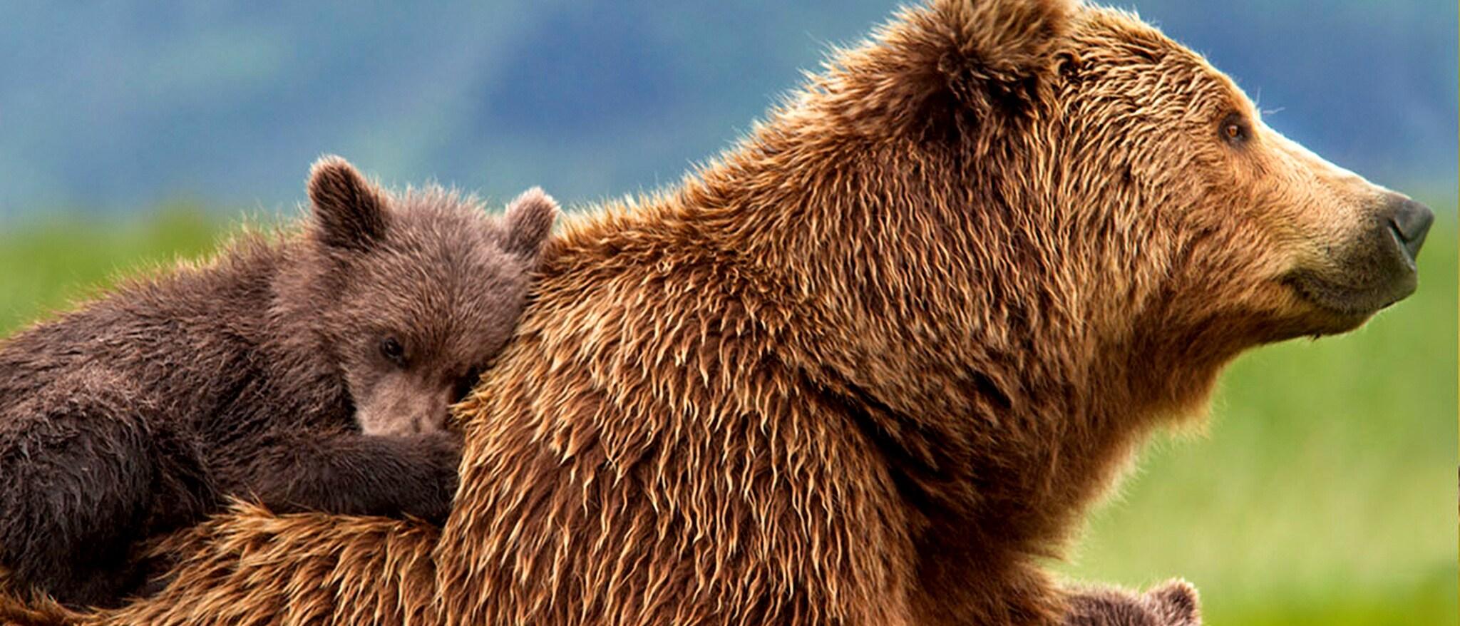 Disneynature: Bears Hero