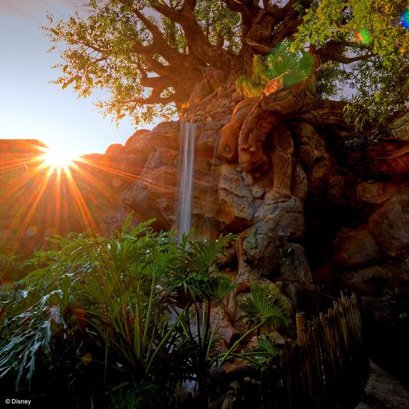 Animal Kingdom Trees during sunset at the Walt Disney World Resort