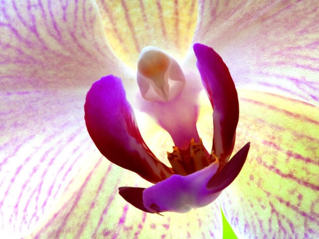 The Moth Orchid (Phalaenopisis), a horticultural hybrid between several Phalaenpsis species, stun...