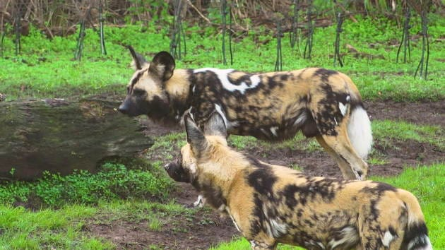 Disney Animals: Painted Dogs