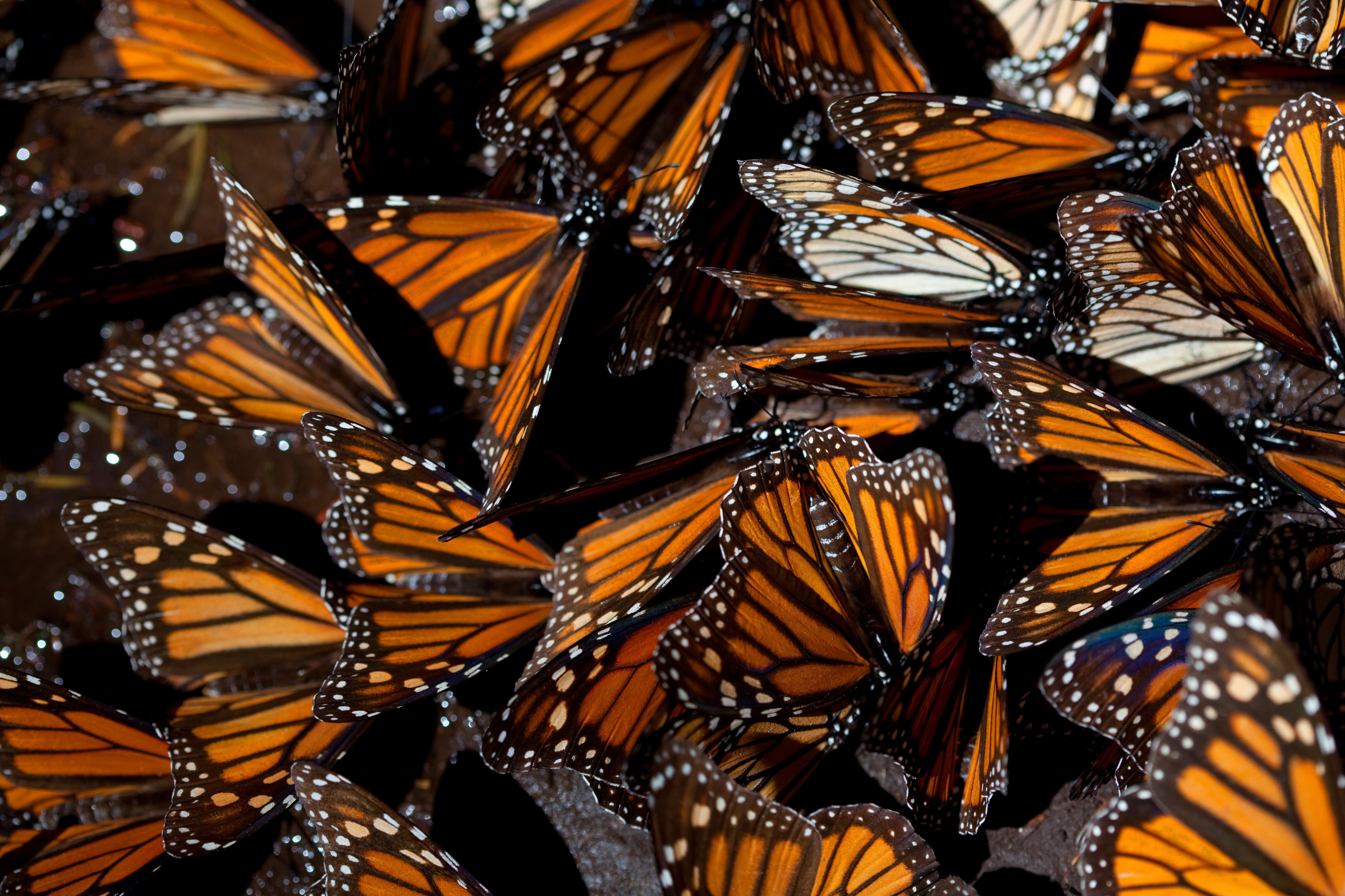 Dozens of monarch butterflies find a common resting spot under some oyamel fir trees.