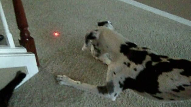 Baby and Dog Go Bonkers Chasing Laser Light