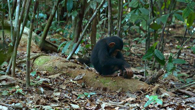 Chimpanzee - Disneynature App