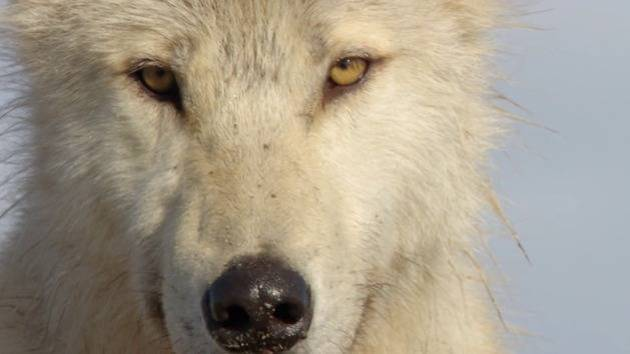 Getting Close with Wolves - Disneynature: Bears BTS