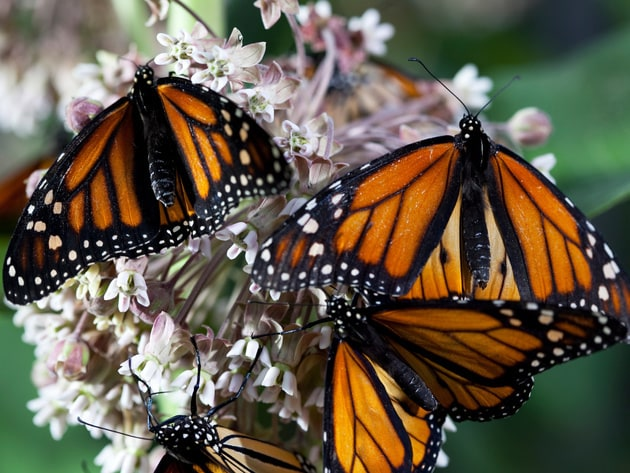 Monarch butterflies aid in the process of pollination as they collect nectar from these Asclepias...