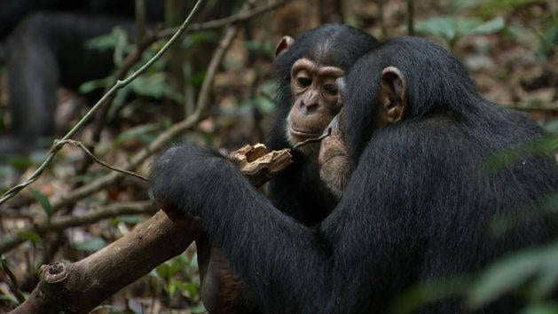 Schimpansen - Trailer #1