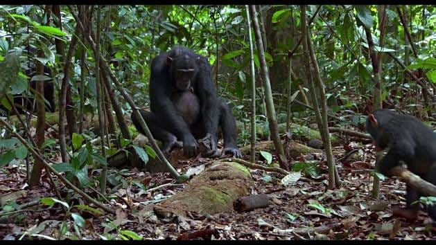 Chimpanzés - Extrait : Sieste ou jeu ?