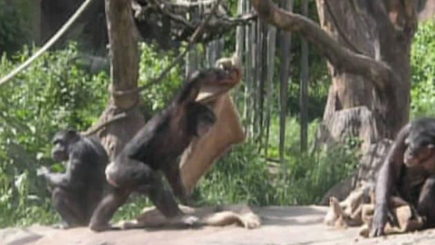 Chimpanzee Throws a Fit