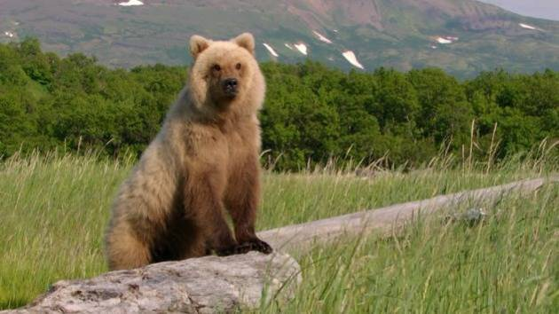 Standing up to the Bear - Disneynature: Bears