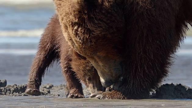 Grizzly - Extrait - La pêche aux coquillages
