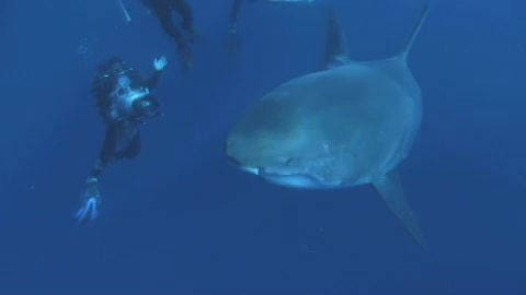 Swimming with Great White Sharks - Featurette - Oceans