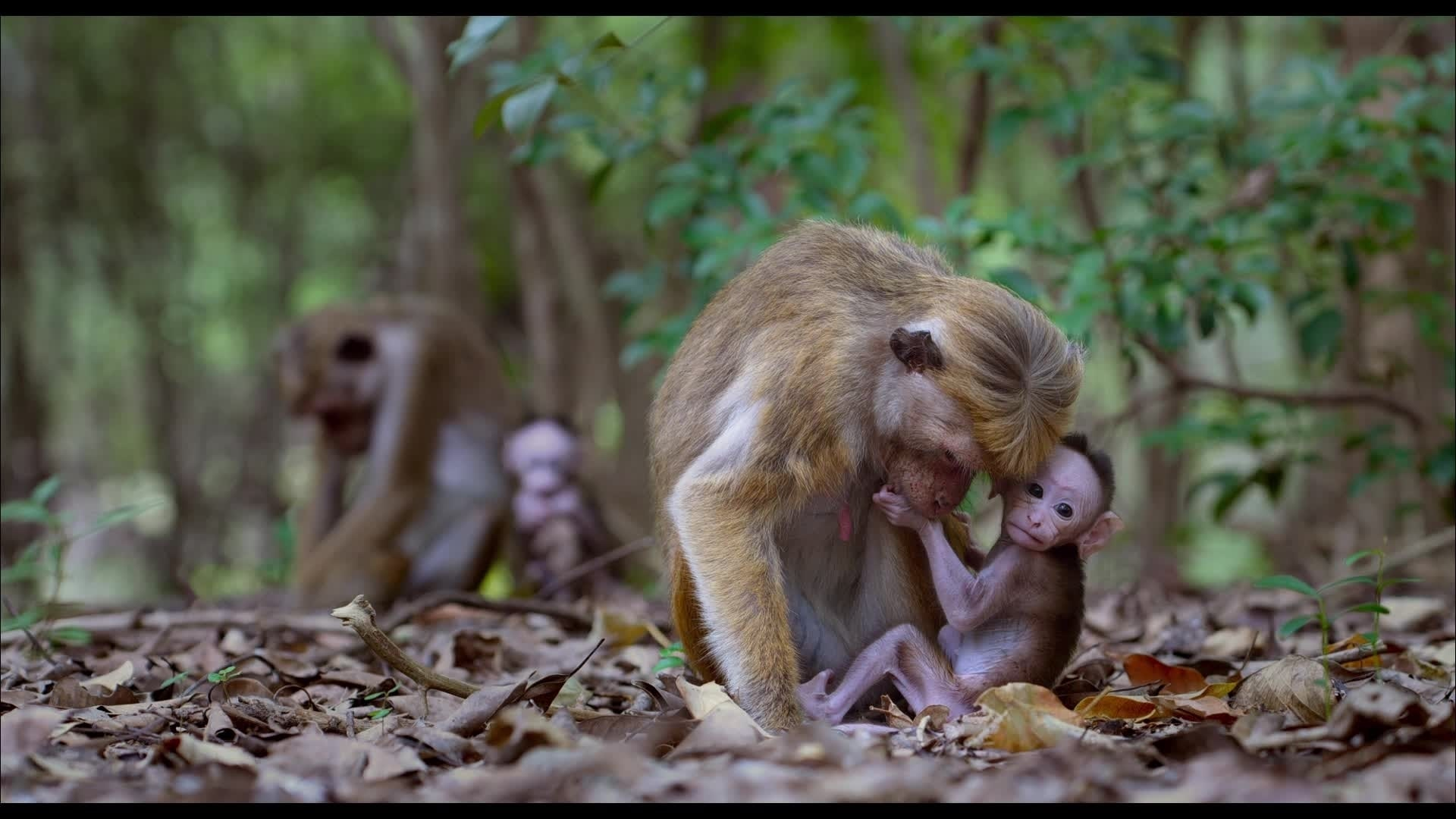 Au Royaume Des Singes - Extrait : Maya et son nouveau-né