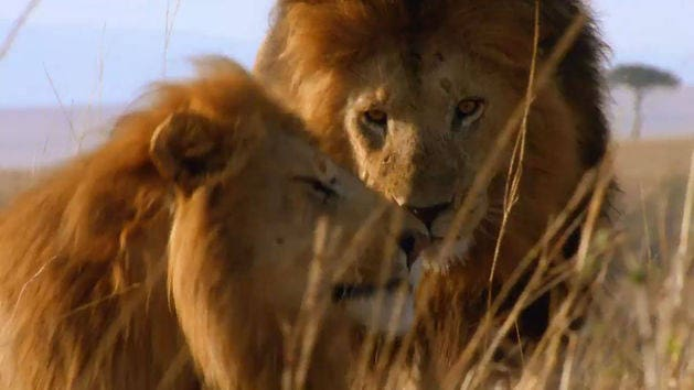 Trailer - African Cats