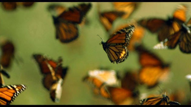 Monarch Butterflies - Wings of Life - Disneynature App