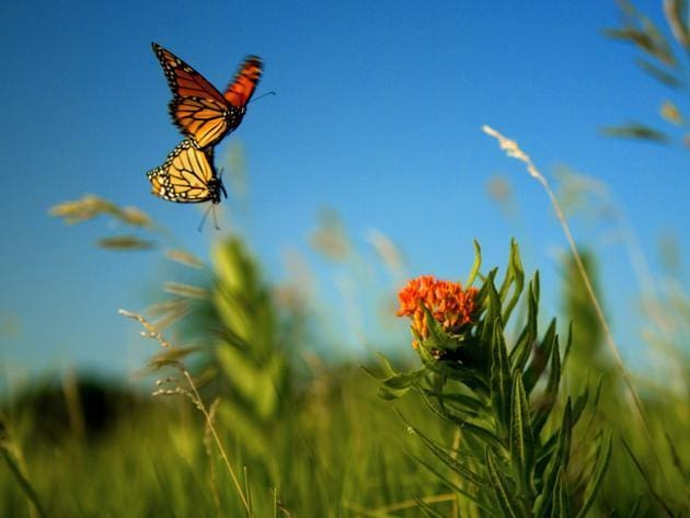 In the middle of a milkweed field in Lawrence, Kan., two monarch butterflies mate as they fly thr...