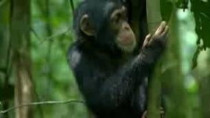 Schimpansen - Schaukeln