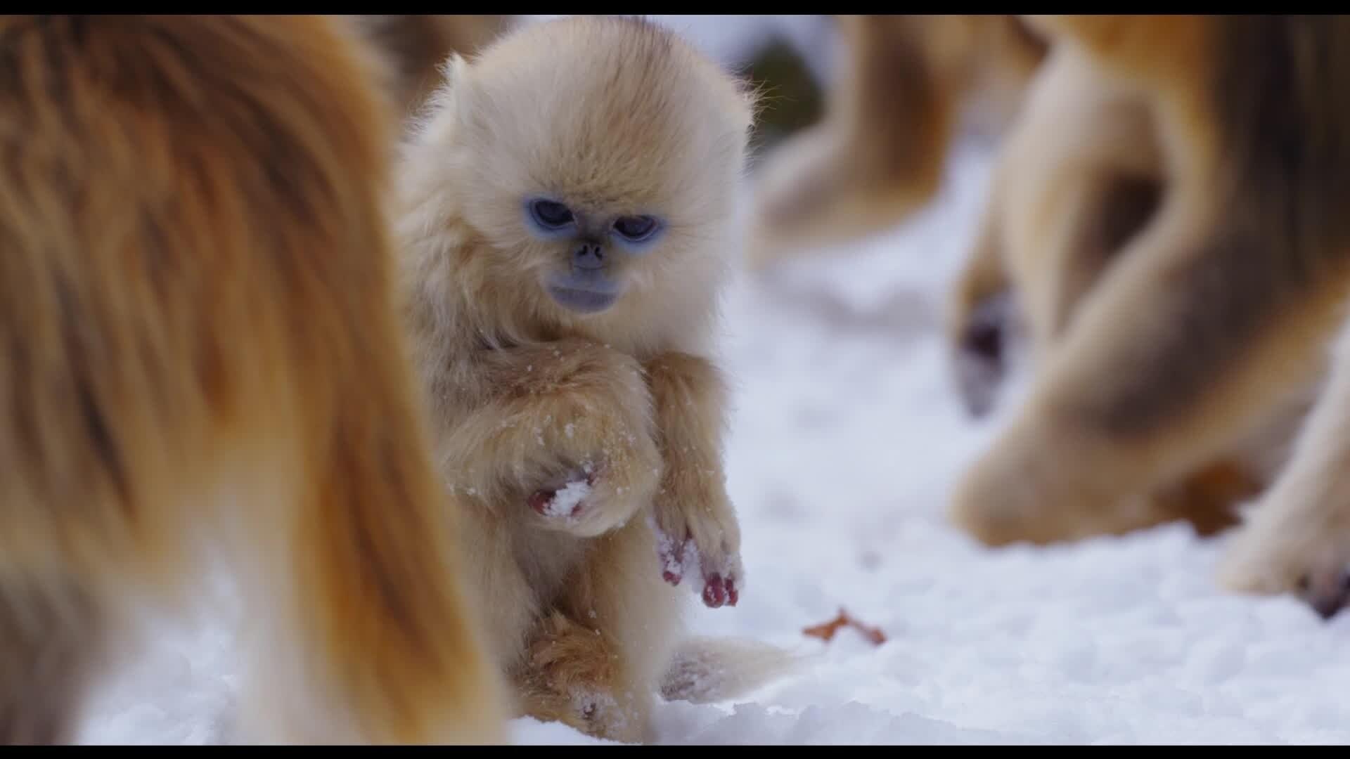 Nés en Chine - Extrait : Premiers pas dans la neige