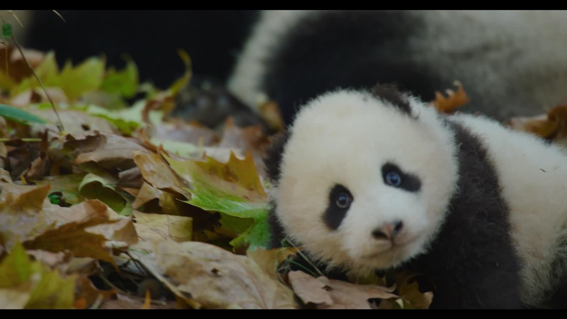 Nés en Chine - La famille des pandas