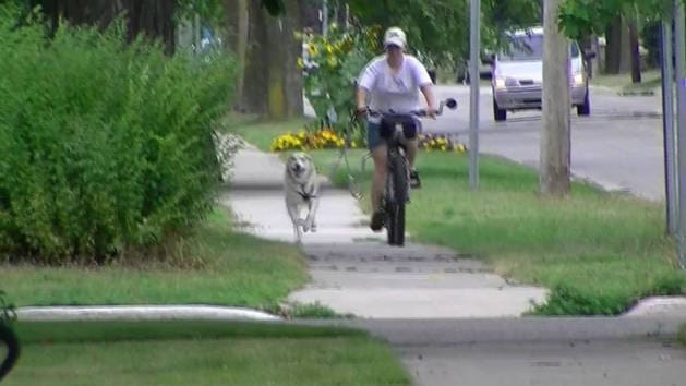 Husky Takes Mom Out for a Bike Ride