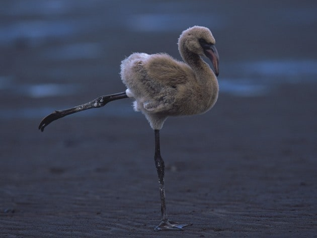A flamingo gracefully balances before flight.