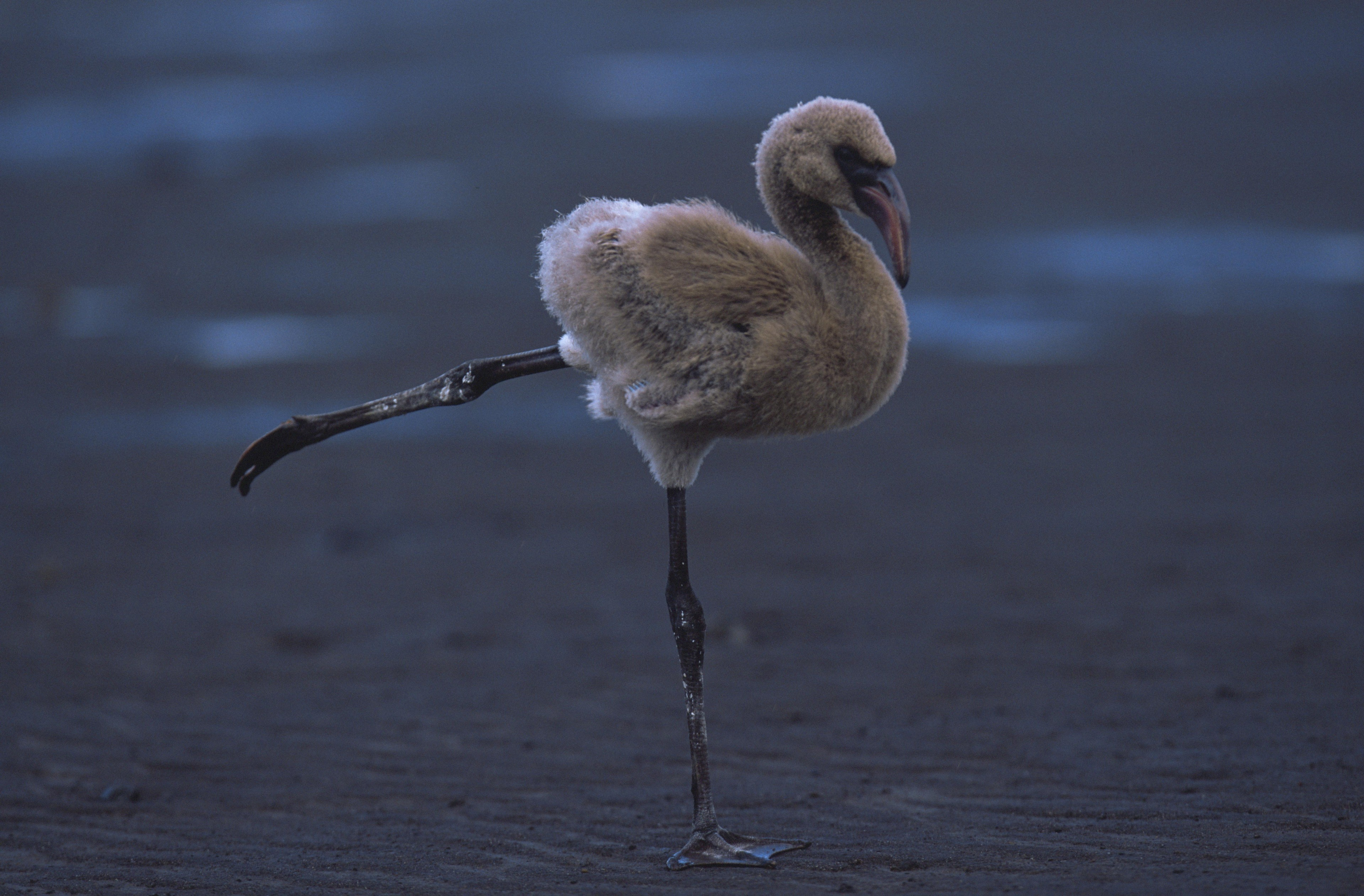 A flamingo gracefully balances before flight.