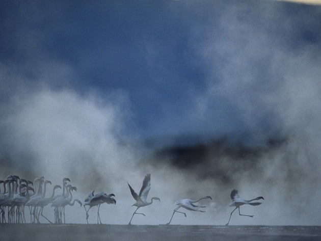 Flamingos taking off through the thick mist of dusk.