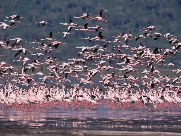 Dozens of flamingos take flight as their reflections glisten on the water.