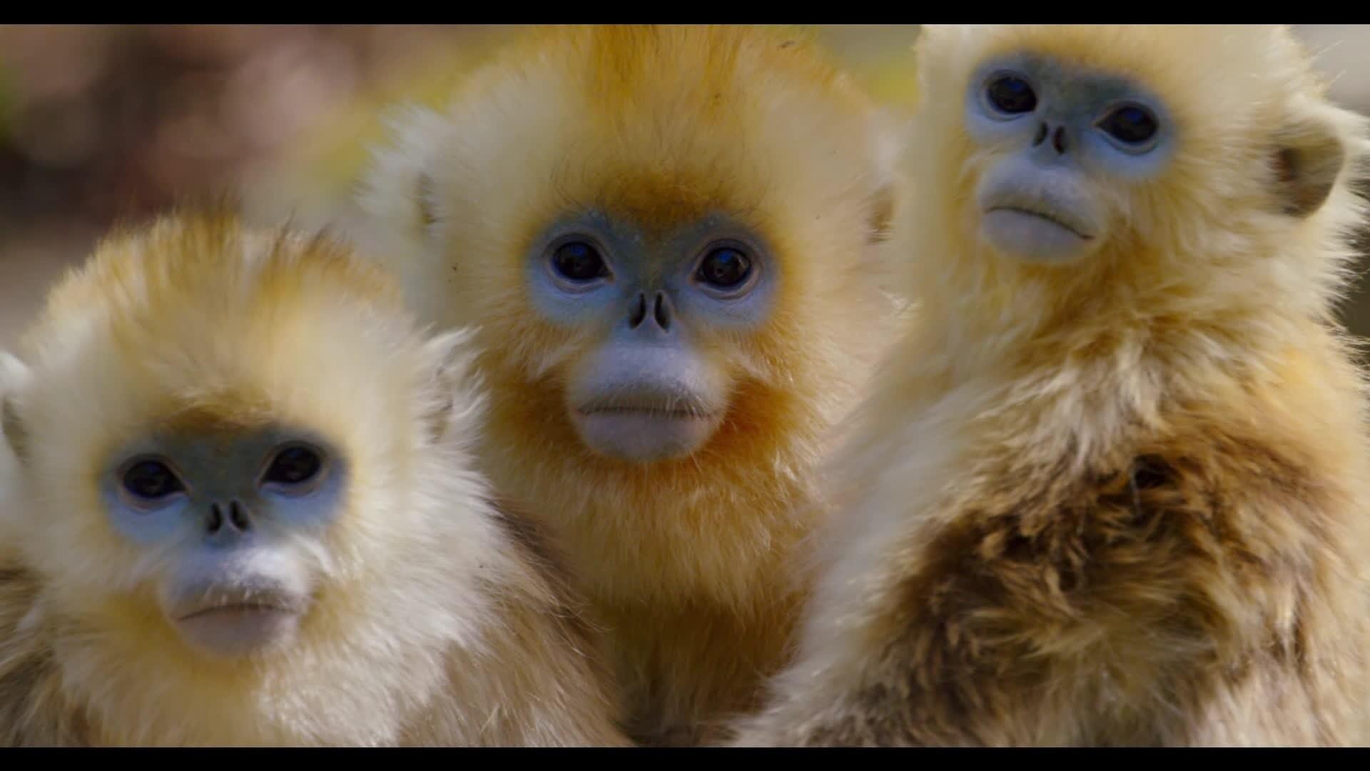 Nés en Chine - La famille des singes