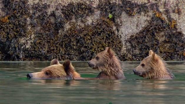 Brown Bear Facts - Disneynature's Bears for Disney Insider