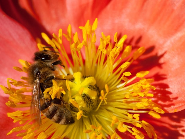 An Africanized Honey Bee (Apis mellifera) hastily collects pollen from an Icelandic poppy.