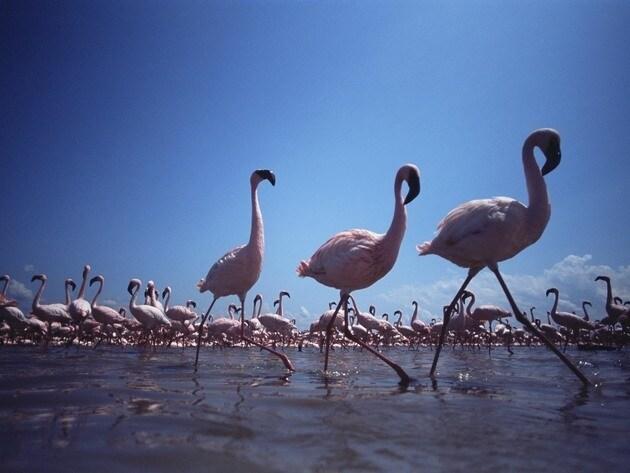 Three flamingos take a synchronized walk through the water.