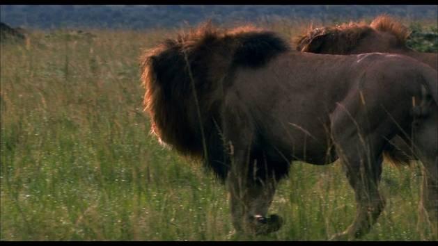 Im Reich der Raubkatzen - Filmclip: Die Löwenmännchen