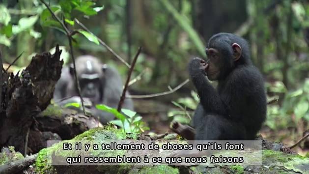 Chimpanzés - Interview des réalisateurs du film